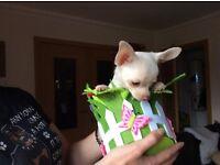 Beautiful KC Reg Chihuahua puppy