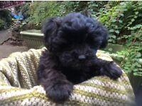 Gorgeous poodle cross pups