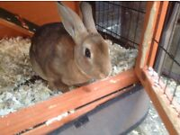 12wk old female rabbit