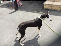 Saluki cross for sale
