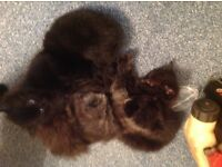 Kittens for sale two boys three girls