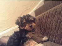 Little Morkie puppy for sale.