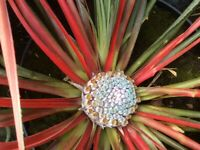 Palm Tree Fascicularia Bicolour 2 Litre Hardy Pineapple Relative For Sale. Each.