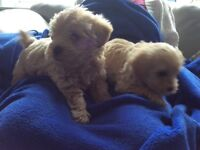 Westiepoo puppies available ready to go