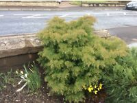 Lovely conifer bush