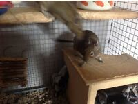 Bubbles and Squeak two 3 yo female degus need a new home