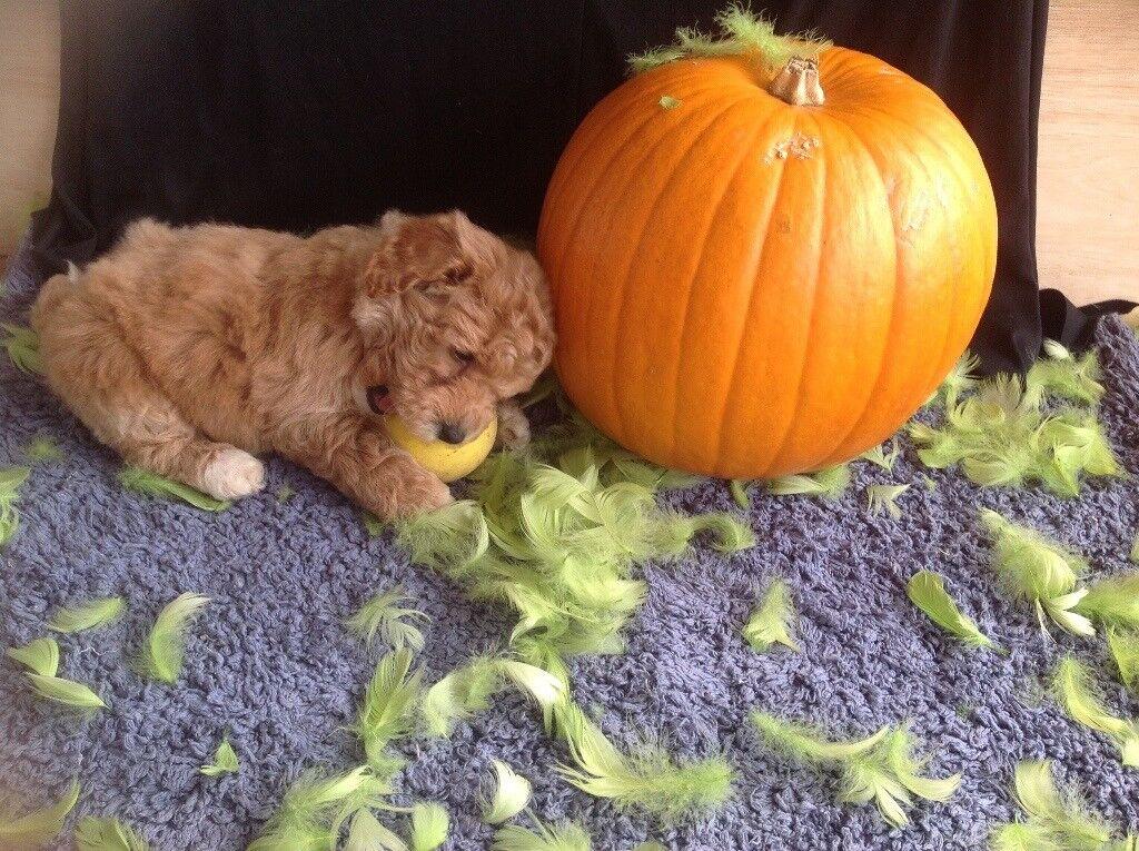 Poochon puppies stunning F1 teddy bears ONLY 2 BOYS LEFT ready soon