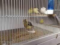 Fife canaries forsale