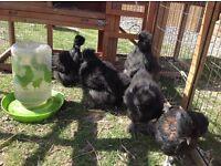 Black silkie chickens 10wks old