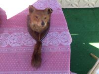 Fox head taxidermy a handsome fellow