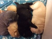 Shar-pei puppy's for sale £600