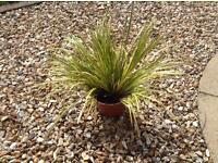 Ornamental grass plant £2