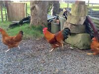 For Sale trio of New Hampshire Reds hens ( Large Fowl )