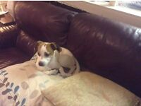 PARSONS JACK RUSSELL FOR SALE ,ONLY 9 MONTHS OLD , £250.