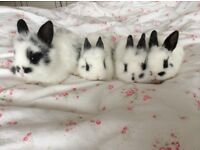 8 weeks rabbits looking for new home.They very friendly and love a cuddle.