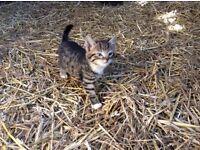 Kittens 5 beautiful kittens for sale, 10 weeks old, children friendly, ginger, tortoishell, tabby