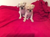 Two beautiful KC Registered Pug Puppies for sale