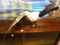 GOOD CONDITION!!! Mallard/ duck taxidermy stuffed decoration sat on wood display item bird