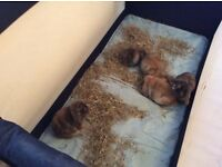 Pure bred mini lop bunnies