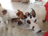 Jack Russell bitch puppy for sale