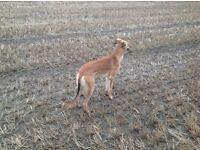 Saluki greyhound x saluki greyhound whippet (Lurcher)