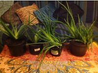Aloe Vera plants for sale. Excellent for juicing, skin care, first aid and detoxing