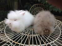 PURE BRED DOUBLE MANED LION HEAD BABIES. READY NOW !