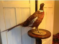 4.5 foot high stand in nice condition! I've put the stuffed pheasant on for show but is for sale!