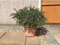 Plant Cotoneaster Horizontalls