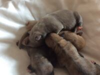 Chihuahua tiny pups