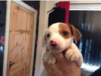 4 JACK RUSSELL BOY PUPPIES