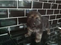 German Shepard puppies males
