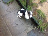 Cross jack Russel chawowa pups