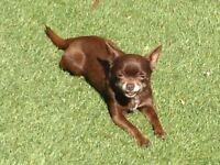 Chihuahua girl1.9kg&PET PASSPORT