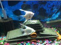 Angel fish platinum (pair) male and female