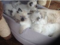 Beautiful ragdoll kittens for sale. They will be gccf reg non active.