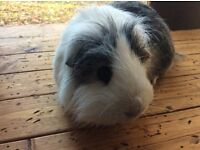 Young adult male guinea pig (6 months old)