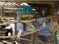 Young aviary bred Budgies for sale