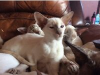 Lilac Tortie Point Siamese Girl! Ready now!