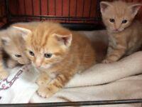 Ginger Kittens 8 week's old