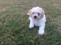 Bichon Frise x poodle puppy