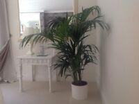 Large Kentia indoor palm