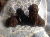 F1 Cockapoo puppies for sale
