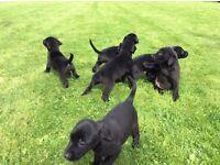 Special litter of black kc Labrador puppy