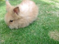 Double main Lionhead head bunnies
