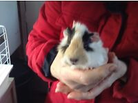 Very pretty Guinea pigs for sale male and female