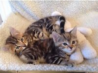 Bengal and Persian Kittens, Absolutely Gorgeous, Adorable Extremely Cute Playful, Intelligent n Meek