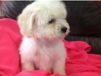 Poochon puppies Bischon Frise X miniature poodle ready now