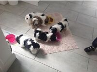 Five shitzu puppies,4 boys,1girl looking for forever homes