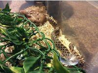 Male western hognose snake 2 yrs old albino genes